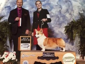 AKC Champion Pembroke Welsh Corgi